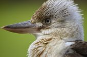 pic of blue winged kookaburra  - this is a close up of a blue winged kookaburra - JPG