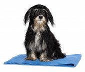 Wet Havanese Puppy Dog After Bath Is Sitting On A Blue Towel