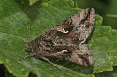 image of gamma  - Silver Y Moth - Autographa gamma