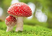 stock photo of poison  - Macro photo of amanita muscaria in forest - JPG