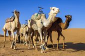 foto of dromedaries  - Group od dromedaries in the desert of Hamada Du Draa  - JPG