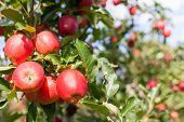 picture of staples  - Bunch of red Gala apples on a apple tree - JPG