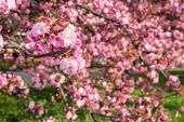 Pink Blossomed Sakura Flowers In Blur