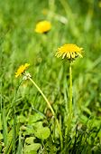 image of yellow buds  - Yellow flowers dandelions on green grass background - JPG