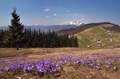 Spring landscape in the mountains. First crocus flowers. Ukraine, Carpathian Mountains