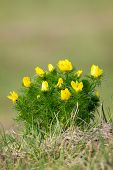 stock photo of adonis  - Beautiful flowers in the spring  - JPG