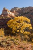 stock photo of cottonwood  - A cottonwood tree in full autumn color beneath red rock cliffs - JPG