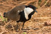 Spur-winged Plover Kneeling With Head Cocked