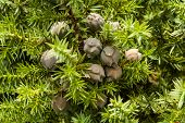 stock photo of juniper-tree  - Cones of Juniperus drupacea  - JPG