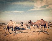 Vintage retro hipster style travel image of camels at Pushkar Mela (Pushkar Camel Fair) with grunge