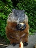 picture of gopher  - The gopher  is eating the apple - JPG