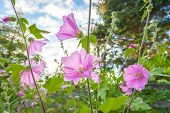 stock photo of hollyhock  - Pink hollyhock flowerrs blooming in the home garden - JPG