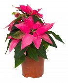 stock photo of poinsettia  - pink poinsettia flower or christmas star in pot isolated on a white background - JPG
