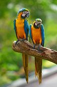 picture of green-winged macaw  - Couple of blue macaw parrots with green background - JPG