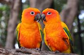 picture of sun perch  - Couple of Sun Conure Parrot perching on a branch - JPG