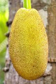 foto of substitutes  - Jackfruit hanging from the trunk - JPG