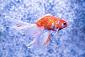 picture of goldfish  - Goldfish on a background of air bubbles.