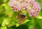 stock photo of meadowsweet  - bee on Spiraea Spring on the beautiful and sunny meadow - JPG