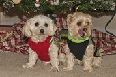 pic of maltipoo  - Maltipoo And Morkie Puppies Hanging Out Under The Christmas Tree - JPG