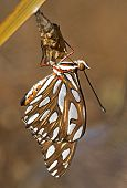 stock photo of chrysalis  - A Fritillary butterfly is suspended from its empty chrysalis - JPG