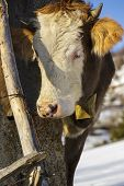 pic of cow head  - Portrait of brown horned young cow with white head and bell looking at camera in wintertime - JPG