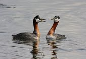 foto of grebe  - Two Red-necked Grebes interact with each other as they swim on lake.