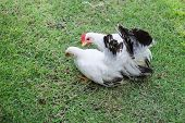 foto of bantams  - Two white chickens on green grass - JPG