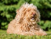 stock photo of poodle  - Brown poodle taking it easy in the sun - JPG