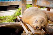 stock photo of sea lion  - sea lion on a bench in san cristobal galapagos islands ecuador - JPG