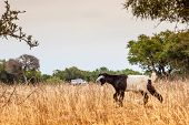 ������, ������: Morrocan goats in the field