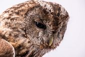 image of bestiality  - Portrait of a Tawny Owl isolated in white background