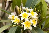 stock photo of frangipani  - White Plumeria spp. (frangipani flowers Frangipani Pagoda tree or Temple tree) on tree