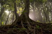 stock photo of twist  - Old giant tree with big twisted roots in enchanted magical forest with sun rays and fog - JPG
