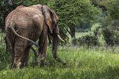 stock photo of sub-saharan  - Huge African elephant bull in the Tarangire National Park Tanzania - JPG