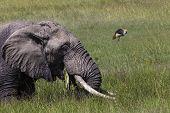 pic of sub-saharan  - Huge African elephant bull in the Tarangire National Park Tanzania  - JPG