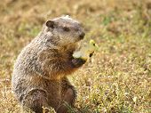 foto of groundhog  - Personified common groundhog holding and eating an apple - JPG