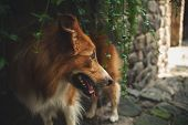 picture of walking away  - Red border collie walking and look away - JPG