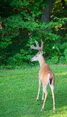 foto of black tail deer  - Whitetail buck that is ready to go back into the forest - JPG
