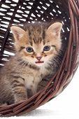 image of yellow tabby  - tabby kitten in a basket on a white veil - JPG
