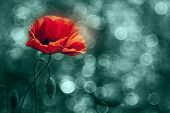 picture of poppy flower  - Beautiful poppy flower with light bubbles in Summer - JPG