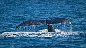 stock photo of gentle giant  - Beautiful humpback whales in the coast of Ecuador - JPG