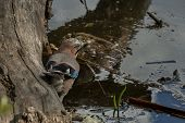 pic of blue jay  - Jay bird on trunk by pond in garden - JPG