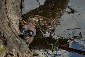 foto of blue jay  - Jay bird on trunk by pond in garden - JPG