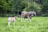 stock photo of calf cow  - an angry cow with its calf in the country Asturias Spain - JPG