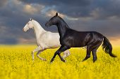 foto of wild horse running  - Two horse run in the meadow with yellow flowers - JPG