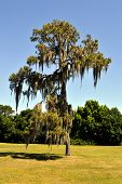 image of swamps  - Swamp cypress with spanish moss growing on it - JPG