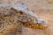 Постер, плакат: The Cuban Crocodile crocodylus Rhombifer It Has The Smallest Range Of Any Crocodile
