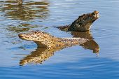 stock photo of swamps  - Floating pair of cuban crocodiles (Crocodylus rhombifer) in pond. The Cuban crocodile has the smallest range of any crocodile and can be found only in Cuba in the Zapata Swamp