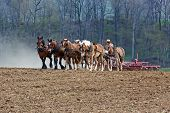 image of mule  - A team of horses and mules pull a spring - JPG
