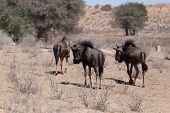 pic of wildebeest  - wild Wildebeest Gnu grazing Kgalagadi South Africa true wildlife - JPG